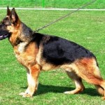 German Shepherd – The Ultimate Service Dog