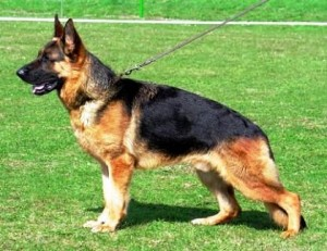 German Shepherd – The Ultimate Service Dog