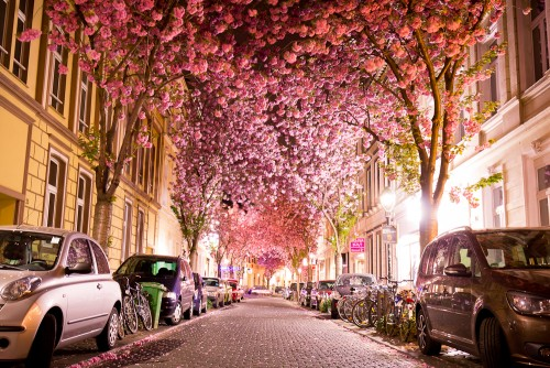 cherry-blossom-bonn