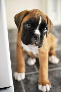 German Dog Breeds: Boxer