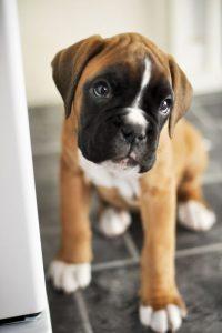 German Dog Breeds: Boxer