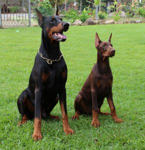 German Dog Breeds: Doberman