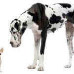 German Dog Breeds: Great Dane