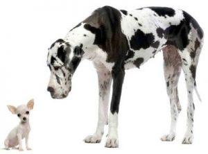 German Dog Breeds: Great Dane – German Culture