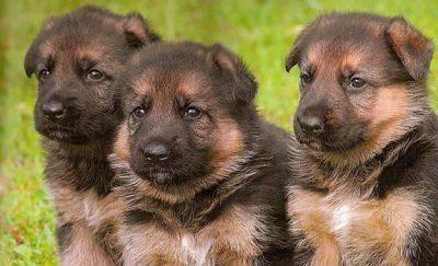 German Dog Breeds – German Culture