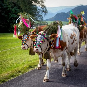 Almabtrieb and Viehscheid – Bringing Cattle Home from Mountain Pastures